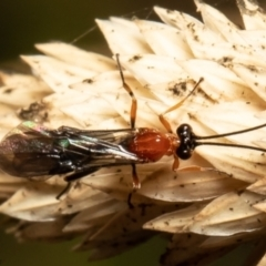 Pycnobraconoides sp. (genus) (TBC) at Macgregor, ACT - 10 May 2021 by Roger
