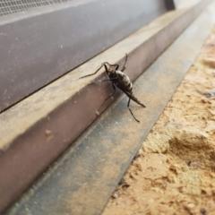 Boreoides subulatus (Wingless Soldier Fly) at Wanniassa, ACT - 11 May 2021 by cmwal