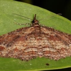 Chloroclystis filata (Filata Moth, Australian Pug Moth) at Melba, ACT - 9 May 2021 by kasiaaus