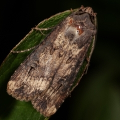 Agrotis ipsilon (Black Cutworm) at Melba, ACT - 9 May 2021 by kasiaaus