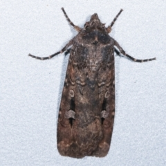 Agrotis infusa (Bogong Moth, Common Cutworm) at Melba, ACT - 10 May 2021 by kasiaaus