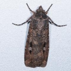 Agrotis infusa (Bogong Moth, Common Cutworm) at Melba, ACT - 10 May 2021 by kasiaaus