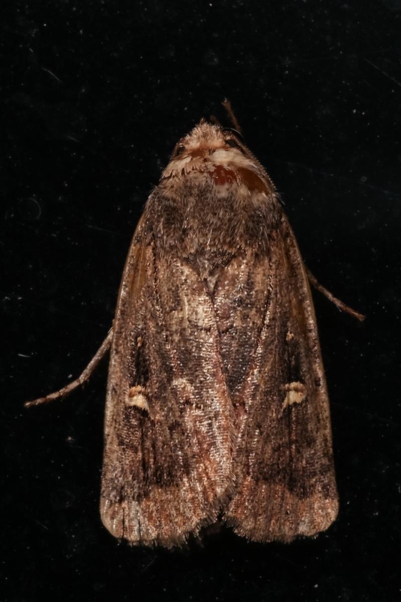 Proteuxoa (genus) at Melba, ACT - 10 May 2021