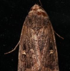 Proteuxoa (genus) (A Noctuid moth) at Melba, ACT - 10 May 2021 by kasiaaus