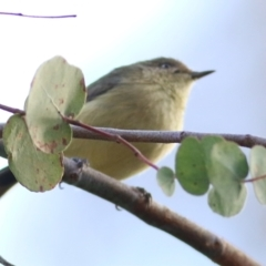 Acanthiza reguloides (Buff-rumped Thornbill) at Wodonga - 2 May 2021 by Kyliegw