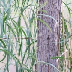 Acacia implexa (Hickory Wattle) at Wodonga - 2 May 2021 by Kyliegw