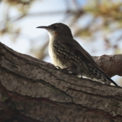 Cormobates leucophaea (White-throated Treecreeper) at Griffith, ACT - 11 May 2021 by roymcd