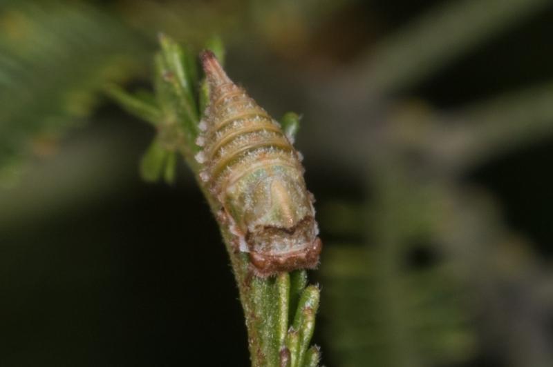Membracidae sp. (family) at Melba, ACT - 11 May 2021