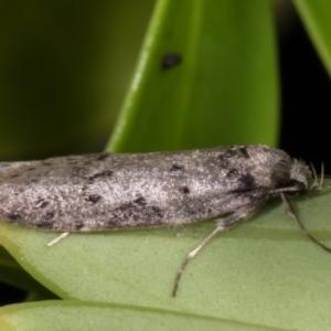 Haplodyta polybotrya at Melba, ACT - 11 May 2021