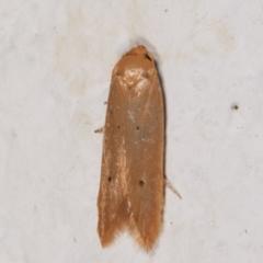 Cryptophasa sp. (genus) (TBC) at Melba, ACT - 10 May 2021 by kasiaaus