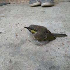 Caligavis chrysops (Yellow-faced Honeyeater) at Greenleigh, NSW - 11 May 2021 by LyndalT