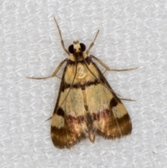 Deuterarcha xanthomela (A Crambid moth (Spilomelinae)) at Melba, ACT - 23 Dec 2020 by Bron