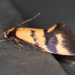 Olbonoma triptycha (Concealer moth) at Melba, ACT - 24 Dec 2020 by Bron
