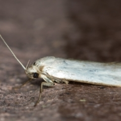 Philobota productella (Pasture Tunnel Moth) at Melba, ACT - 23 Dec 2020 by Bron