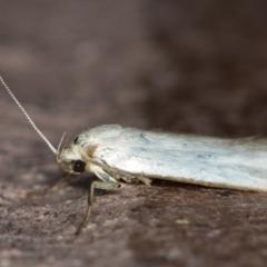 Philobota productella (Pasture Tunnel Moth) at Melba, ACT - 23 Dec 2020 by Bron