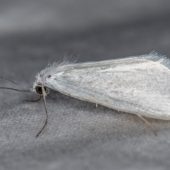 Tipanaea patulella (Grass Moth) at Melba, ACT - 19 Dec 2020 by Bron