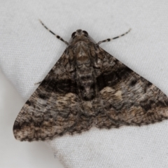 Gastrinodes argoplaca (Cryptic Bark Moth) at Melba, ACT - 19 Dec 2020 by Bron