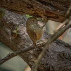 Acanthiza pusilla (Brown Thornbill) at Tallaganda State Forest - 10 May 2021 by trevsci