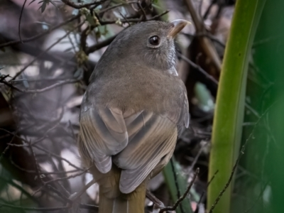 Pachycephala olivacea (Olive Whistler) at Hereford Hall, NSW - 10 May 2021 by trevsci