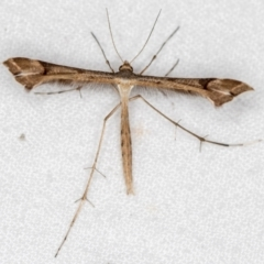 Sinpunctiptilia emissalis (A plume moth) at Melba, ACT - 17 Dec 2020 by Bron