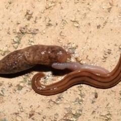 Deroceras reticulatum (Grey Field Slug) at Evatt, ACT - 11 May 2021 by TimL