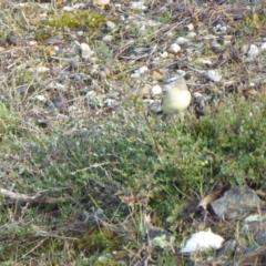 Acanthiza chrysorrhoa (Yellow-rumped Thornbill) at Rugosa at Yass River - 6 May 2021 by SenexRugosus