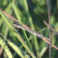 Unidentified Damselfly (Zygoptera) (TBC) at Isobella Pond - 4 Mar 2021 by michaelb