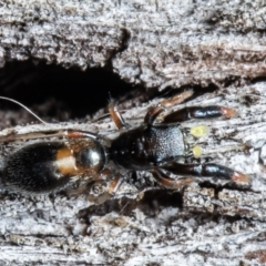 Rhombonotus gracilis (Graceful Ant Mimic) at Forde, ACT - 7 May 2021 by Roger