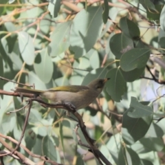 Ptilotula fusca (Fuscous Honeyeater) at Cook, ACT - 13 May 2021 by Tammy