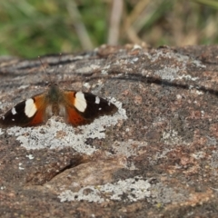 Vanessa itea (Yellow Admiral) at Mount Painter - 13 May 2021 by Tammy