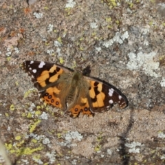Vanessa kershawi (Australian Painted Lady) at Cook, ACT - 13 May 2021 by Tammy