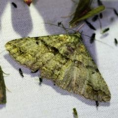 Gastrinodes argoplaca (Cryptic Bark Moth) at Tidbinbilla Nature Reserve - 12 Mar 2021 by ibaird