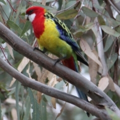 Platycercus eximius (Eastern Rosella) at Albury - 14 May 2021 by PaulF