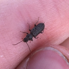 Meryx aequalis (Ulodid beetle) at Throsby, ACT - 13 May 2021 by Ned_Johnston
