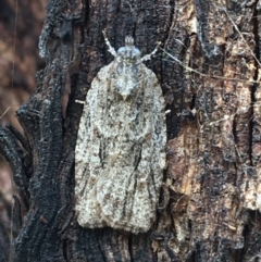 Acropolitis ergophora (A tortrix or leafroller moth) at Throsby, ACT - 13 May 2021 by Ned_Johnston