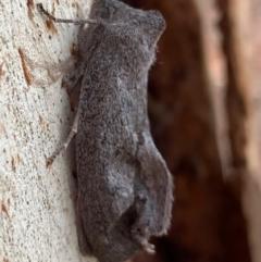Paralaea ochrosoma (Fuscous Crest-moth) at Murrumbateman, NSW - 11 May 2021 by SimoneC