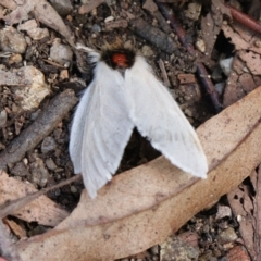 Trichiocercus sparshalli (Sparshall's Moth) at Paddys River, ACT - 14 May 2021 by Sarah2019