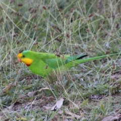 Polytelis swainsonii (Superb Parrot) at Point One - 12 May 2021 by LisaH