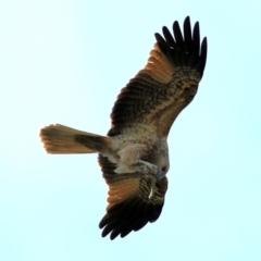 Haliastur sphenurus (Whistling Kite) at Splitters Creek, NSW - 15 May 2021 by Kyliegw