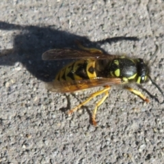 Vespula germanica (European wasp) at Jerrabomberra Wetlands - 14 May 2021 by Christine
