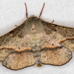 Antictenia punctunculus (A geometer moth) at Melba, ACT - 17 Dec 2020 by Bron