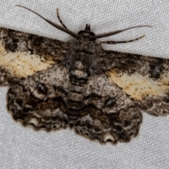 Cleora (genus) (A Looper Moth) at Melba, ACT - 16 Dec 2020 by Bron