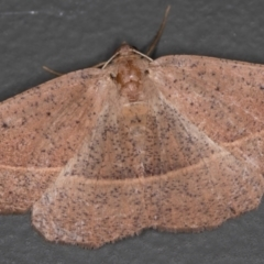 Idiodes apicata (Bracken Moth) at Melba, ACT - 16 Dec 2020 by Bron