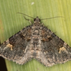 Epyaxa sodaliata (A geometer moth) at Melba, ACT - 16 Dec 2020 by Bron