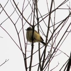 Acanthiza nana (Yellow Thornbill) at Wodonga - 16 May 2021 by Kyliegw