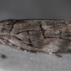 Illidgea epigramma (A Gelechioid moth) at Melba, ACT - 16 Dec 2020 by Bron