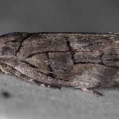 Illidgea epigramma (A Gelechioid moth) at Melba, ACT - 16 Dec 2020 by Bron