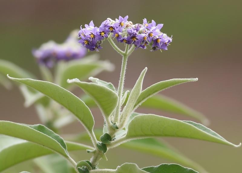 Solanum mauritianum at Wodonga - 16 May 2021