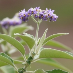 Solanum mauritianum at Wodonga, VIC - 16 May 2021 by Kyliegw