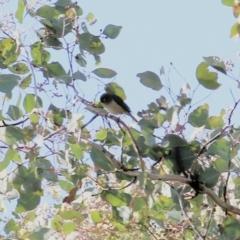 Zosterops lateralis (Silvereye) at Wodonga - 16 May 2021 by Kyliegw